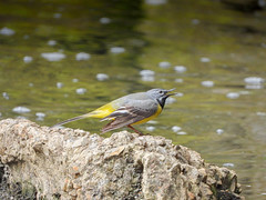Grey Wagtail | Pendle Water (Pendlelives) Tags: wildlife nature bird birds water canal leeds liverpool nelson colne barrowford pendle pendlelives vibrant brackground colours feathers blurred nikon p1000 amazing rain raining may 2019 vegetation trees ornithology blossom animals garden hunting grey wagtail wag tail yellow