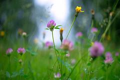 (kuuan) Tags: mf manualfocus m42 yashinon autoyashinonf25cm meadow wiese mostviertel austria colors blumenwiese bokeh macro helicoidadapter closefocusadapter dandelion loewenzahn autoyashinon closefocusing drops waterdrops rain wideopen