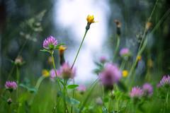 (kuuan) Tags: mf manualfocus m42 yashinon autoyashinonf25cm meadow wiese mostviertel austria colors blumenwiese bokeh macro helicoidadapter closefocusadapter dandelion loewenzahn autoyashinon closefocusing rain drops