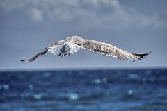 Goéland_5098 (Luc Barré) Tags: goéland bird birds oiseau oiseaux ciel pêche marin poison poissons fish boats sea mer égée