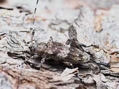 Acanthocinus griseus F (kahhihou) Tags: taxonomy:kingdom=animalia animalia taxonomy:phylum=arthropoda arthropoda taxonomy:subphylum=hexapoda hexapoda taxonomy:class=insecta insecta taxonomy:subclass=pterygota pterygota taxonomy:order=coleoptera coleoptera taxonomy:suborder=polyphaga polyphaga taxonomy:infraorder=cucujiformia cucujiformia taxonomy:superfamily=chrysomeloidea chrysomeloidea taxonomy:family=cerambycidae cerambycidae taxonomy:subfamily=lamiinae lamiinae taxonomy:tribe=acanthocinini acanthocinini taxonomy:genus=acanthocinus acanthocinus taxonomy:species=griseus taxonomy:binomial=acanthocinusgriseus acanthocinusgriseus