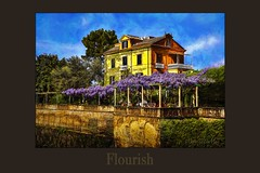 Flourish (WayneToTheMax) Tags: flourish grow succeed vigor fanfare develop thrive wisteria sorrento italy nikon d750 photoshop poster canvas print stucco wall old world house cliff flair