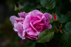 Pink Rose (judy dean) Tags: 365the2019edition 3652019 day148365 28may19 judydean 2019 lensbaby rose garden pink