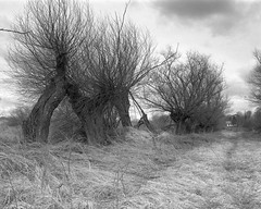 Willows (fotoswietokrzyskie) Tags: mamiyarz67 blackandwhite willows scan film medium format 6x7 monochrome tree winter ilford delta400 ddx sekor 90mm trees road grass