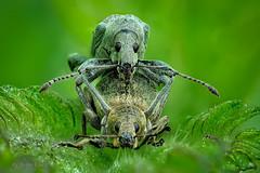 Brennnessel-Grünrüssler (Phyllobius pomaceus) bei der Paarung (AchimOWL) Tags: käfer insekt insect tier tiere animal makro macro g9 schärfentiefe outdoor wildlife lumix panasonic stack ngc raynox fauna beetle rüsselkäfer brennessel curculionidae owl deutschland olympus macrodreams grünrüssler weevil greenweevil nesselblattrüssler brennnesselgrünrüssler