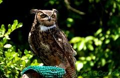 Great horned owl (Frank G Cornish) Tags: owl greathornedowl birdofprey nightowl fowl