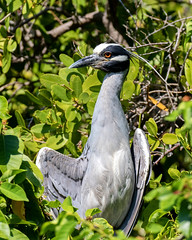 Yellow-Crowned Night-Heron (dbadair) Tags: outdoor seaside nature wildlife 7dm2 7d ii ef100400mm canon florida bird stpete mangrove