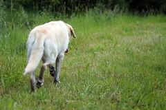 einsamer Wolf (glaserei) Tags: iva hunde hund haustier labrador labi goldie retriever
