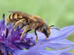 Halictus scabiosae (Stefan Verheyen) Tags: bee solitary netherlands macro insect