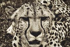 A Cat Closeup (orkomedix) Tags: canon 550d sigma 18250f3563 namibia cheetah closeup cat face bw africa