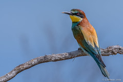 Merops apiaster (Gruccione, European bee-eater). (Ciminus) Tags: europeanbeeeater nikond500 afsnikkor500mmf4gedvrii naturesubjects wildlife ornitology nature ciminus birds oiseaux ornitologia meropsapiaster ciminodelbufalo uccelli aves