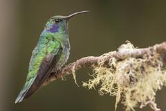 Green violetear (KarsKW) Tags: birds bird birding aves costa rica jungle animals wildlife beautiful highlands national park los