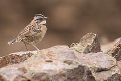 Rufous-collared Sparrow (KarsKW) Tags: birds bird birding aves costa rica jungle animals wildlife beautiful highlands national park los quetzales