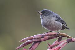 Slaty flowerpiercer (KarsKW) Tags: birds bird birding aves costa rica jungle animals wildlife beautiful highlands national park los quetzales