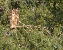 Great Horned Owl (karenmelody) Tags: usa bird birds animal animals texas owl owls greathornedowl southtexas vertebrate strigiformes vertebrates bubovirginianus hidalgocounty lagunasecaranch