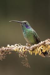 Green violetear (KarsKW) Tags: birds bird birding aves costa rica jungle animals wildlife beautiful highlands national park los quetzales