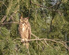 Great Horned Owl, young (karenmelody) Tags: bird birds animal animals usa texas owl owls greathornedowl southtexas vertebrate strigiformes vertebrates bubovirginianus hidalgocounty lagunasecaranch