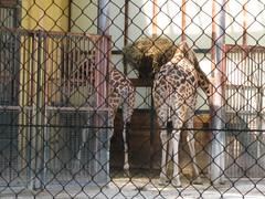 Giraffen (✿ Esfira ✿) Tags: tiergartenschönbrunn viennazoo giraffen giraffes wien vienna österreich austria