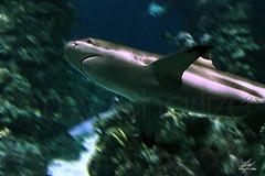 Shark swimming (Amy Charlize) Tags: amycharlize focosocial animal shark aquatic eyes fotografía color photography water underwater sea