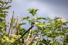 A Bluetit guarding it's nest (SimonNicholls27) Tags: bluetit bird essex wildlife trees bokeh stansted wild life