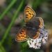 Brauner Feuerfalter ♀ (Lycaena tityrus), Kräbach bei Elsenborn, Ostbelgien