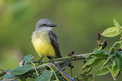 CA3I7753-Couch's Kingbird (tfells) Tags: couchskingbird bird nature wildlife mexico playadelcarmen tyrannuscouchii yucatan