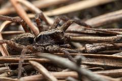 Proper Camouflage Colours - _TNY_7997 (Calle Söderberg) Tags: macro canon canon5dmkii canon5dmarkii 5d2 canonef100mmf28usmmacro flash speedlite canon580exii plåtdiffusorv1 raynox dcr250 tyresta tyrestanationalpark stensjön arachnida araneae lycosoidea lycosidae spider spindel wolfspider vargspindel alopecosa pulverulenta commonfoxspider ängsvargspindel brown pineneedles f22