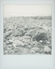 # (alex//b) Tags: 2019 spring frühling polaroidsx70 polaroidoriginals instand film analog mecklenburgvorpommern rügen ostsee balticsea strand beach fuchs fox death tod steilküste cliffline jasmund königsstuhl nationalpark schwarzweis blackwhite