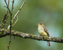 In-flight Meal (rob.wallace) Tags: sping2019shenandoahnationalpark acadian flycatcher