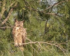 Great Horned Owl (karenmelody) Tags: usa bird birds animal animals texas greathornedowl southtexas vertebrate strigiformes bubovirginianus hidalgocounty lagunasecaranch owl owls vertebrates