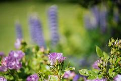 Roses and lupins (tonybill) Tags: flowers gardens hampshire may miscellaneous nationaltrust olympusomzuiko90mmf2macro places sonya7iii sunshine westgreenhouse bokeh garden