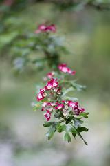 Hawthorn blossom (tonybill) Tags: flowers gardens hampshire may miscellaneous nationaltrust olympusomzuiko90mmf2macro places sonya7iii sunshine westgreenhouse bokeh garden