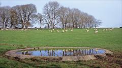 dew pond (Ron Layters) Tags: reflection dewpond sheep trees water pond bulltor field landscape whitepeak nearhighdale highfield farm pasture brushfield monsaldale peakdistrict derbyshire england unitedkingdom slidefilmthenscanned slide transparency fujichrome velvia leicar6 leica r6 ronlayters