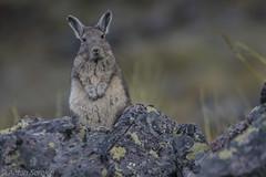Viscacha (antonsrkn) Tags: viscacha cute rodent wildlife animal nature peru cordillera vilcanota andes mountains mammal nikon southamerica