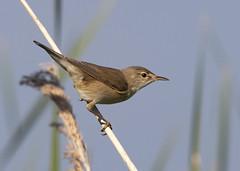 Reed Warbler (acrocephalus scirpaceus) (Steve Ashton Wildlife Images) Tags: reed warbler reedwarbler acrocephalus scirpaceus
