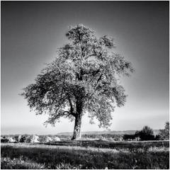 In a few Months... (Ody on the mount) Tags: abendlicht anlässe bäume em5ii filmkorn fototour herbst herbstfarben himmel licht mzuiko918 omd olympus pflanzen rahmen schwäbischealb solitär bw blackandwhite frame grain monochrome quadratisch sw schwarzweis tübingen badenwürttemberg