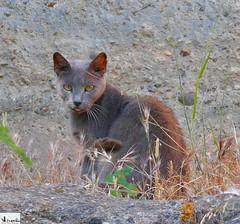 Gato gris. (In Dulce Jubilo) Tags: gato cat cats animal animals wild salvaje naturaleza nature color gris colors spain spanien espagne españa