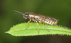 Grey Alder Sawfly (timz501) Tags: sawfly jersey monsomapulveratum
