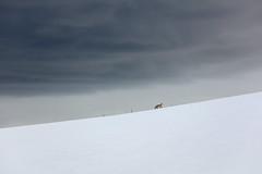A red fox runs the ridgeline near Buffalo Plateau Trail (YellowstoneNPS) Tags: buffaloplateautrail ynp yellowstone yellowstonenationalpark clouds fox snow spring storm