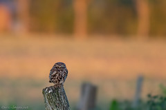 little owl 2019 (eric-d at gmx.net) Tags: littleowl steinkauz athenenoctua owl eule wildlife eric