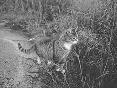 Evening Cat Bokeh BW   28. Mai 2019   Tarbek - Schleswig-Holstein - Deutschland (torstenbehrens) Tags: evening cat bokeh bw   28 mai 2019 tarbek schleswigholstein deutschland olympus penf lumix g 20f17 ii