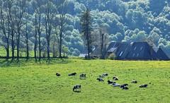 L'heure de la sieste (raym5) Tags: vaches prairie printemps2019