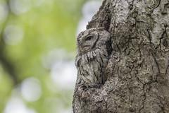 Eastern screech owl wild the master of camouflage . (Mel Diotte) Tags: eastern screech owl wild nature tree eyes feathers camo camouflage mel diotte explore nikon d500 200500mm lens