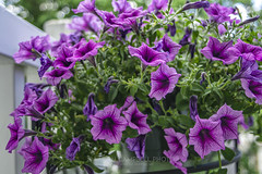 Balcony Petunia, 2019.05.28 (Aaron Glenn Campbell) Tags: outdoors balcony railing bokeh depthof field shallow knoxcounty knoxville tennessee plant blooms petunia purple lavender colorful sony a6000 ilce6000 mirrorless fotodiox lensadapter canon fdn28mmf28 primelens manualfocus filmera vintagelens