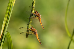 Scarce chasers