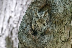 Eastern screech owl wild the master of camouflage (Mel Diotte) Tags: eastern screech owl wild nature eyes woods tree feathers hunter raptor mel diotte explore camouflage
