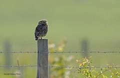 Little Owl-Athene noctua. (PANDOOZY PHOTOS) Tags: littleowl birdofprey bird birds raptor uk gb spring athenenoctua strigidae strigiformes gardenbird owl owls