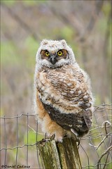 Great Horned Owlet (Daniel Cadieux) Tags: owl owlet greathornedowl baby young portrait fencepost raptor vertical forest ottawa