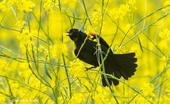 Singing in the mustard (Photosuze) Tags: blackbirds animals birds redwingedblackbirds male nature wildlife avians aves mustard plants flowers flora spring singing