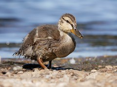 Duckling (PhotoLoonie) Tags: duckling spring duck mallard wildlife nature attenboroughnaturereserve